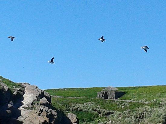 Shearwater Safaris: Puffins flying