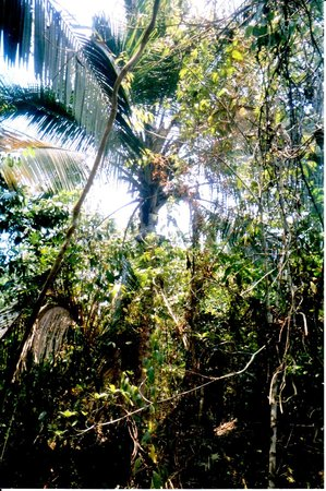 Jungle Water Adventures : Our cave tubing guide climbing a coconut tree to get us fresh coconuts (look closely at the very