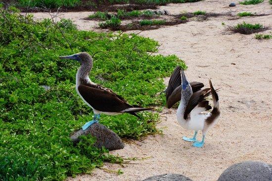 Administracion Turistica del Parque Nacional Galapagos: Courting blue footed boobies