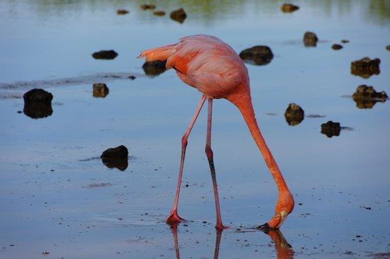 Administracion Turistica del Parque Nacional Galapagos: Feeding Flamingo
