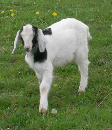 The Peaceable Kingdom B & B: A Baby Dairy Goat