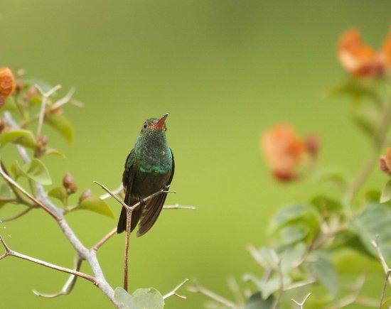 Arenal Volcano Inn: Rufous Tailed Hummingbird