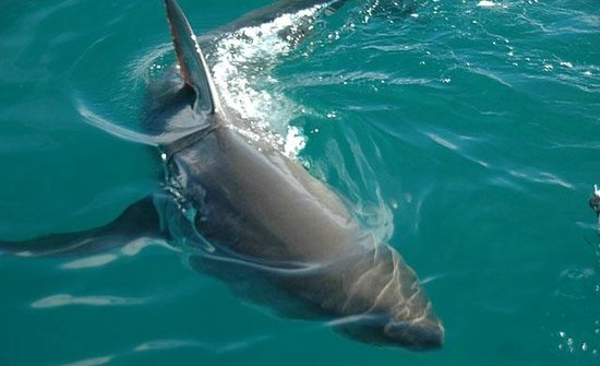 Great White Shark Tours: Surface viewing with 100% viz