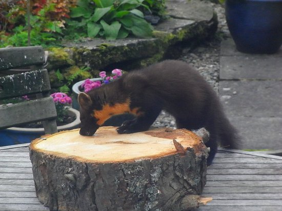 Bealach Country House: Pine Marten here for its peanut butter !