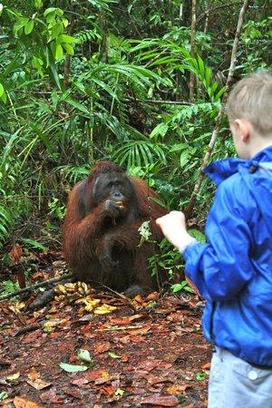 Pangkalan Bun, Indonésia: Amazing close encounters with rehabilitated orangutans