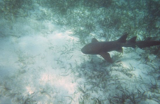 Tsunami Adventures: nurse shark