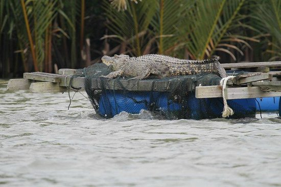 Kuching Wetlands National Park : Crocodile