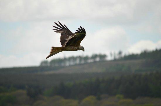 Llanddeusant, UK: Red Kite Feeding Station