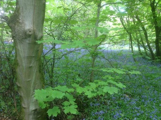 Yoxall Lodge Bluebell Woods: Beautiful bluebells in a bosky landscape