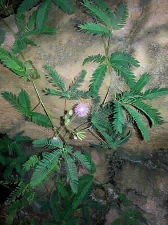 Quad City Botanical Center: Sensitive Plant, Mimosa pudica
