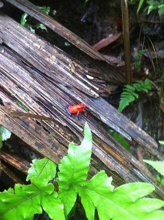 Issys Tours Costa Rica: Arenal volcano.. blue jeans dart frog