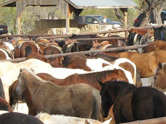 Tanque Verde Ranch: horses