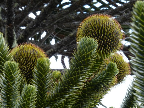 Andes White Day Tours: Araucarias