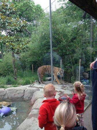 Cincinnati Zoo U0026 Botanical Garden: Bengal Tiger Habitat