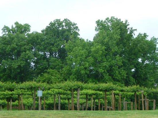 Chateau Elan Winery And Resort: Grapes