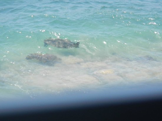 Kulakane: View of sea turtles from the lanai in unit 308 (I used my zoom for this)