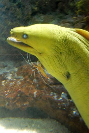 Wildlife World Zoo and Aquarium: Moray eel with shrimp friend