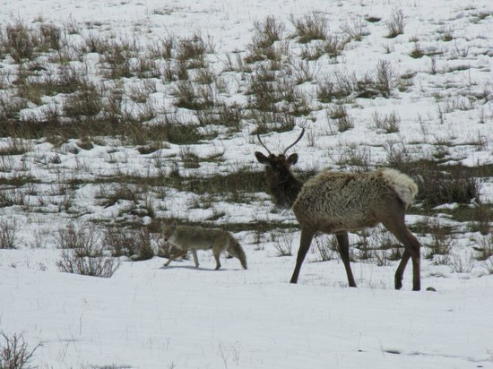 Rams Horn Village Resort : Young bull elk running the coyote off