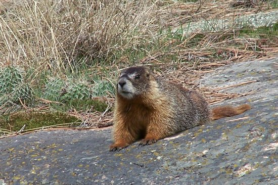 Rams Horn Village Resort: Marmot
