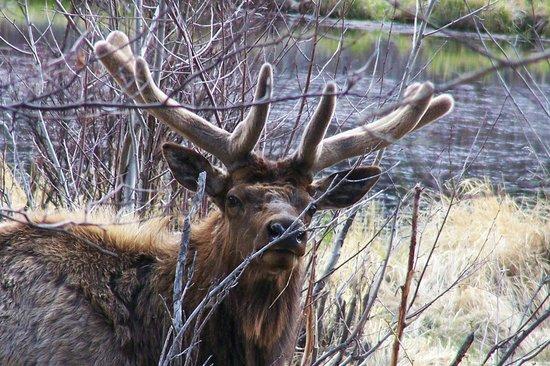 Rams Horn Village Resort: Curious bull elk