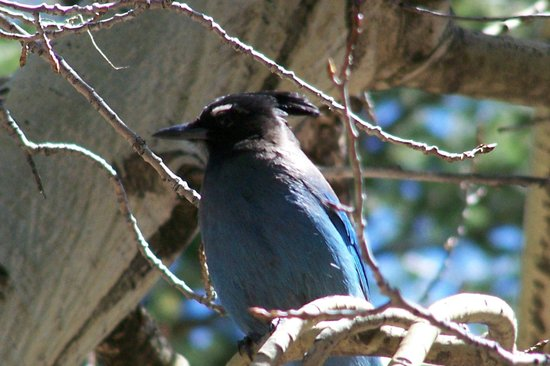 Rams Horn Village Resort: Blue Jay