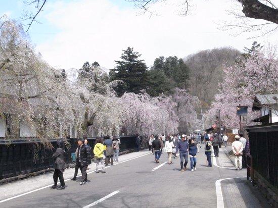 Kakunodate Birch Textile Museum: 塀に沿って枝垂桜が満開でした