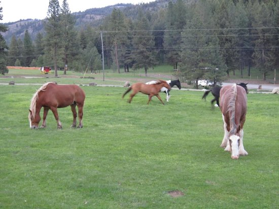K-Diamond-K Guest Ranch: Horses going to evening pasture