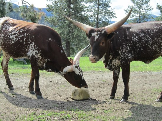 K-Diamond-K Guest Ranch: Watusi/Longhorn cattle