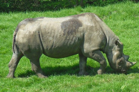 Lympne, UK: Rhino
