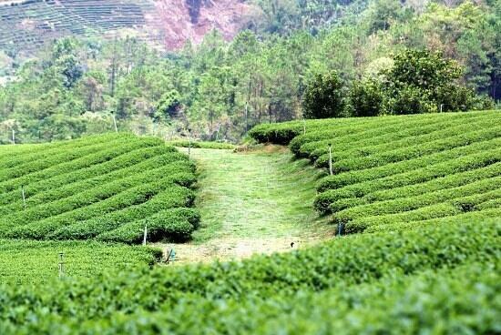 Nok's Garden Resort: Tea plantation - nearby attraction.