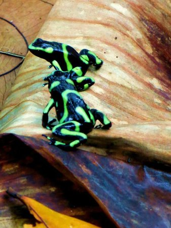 Carate, Costa Rica: Poison dart frogs