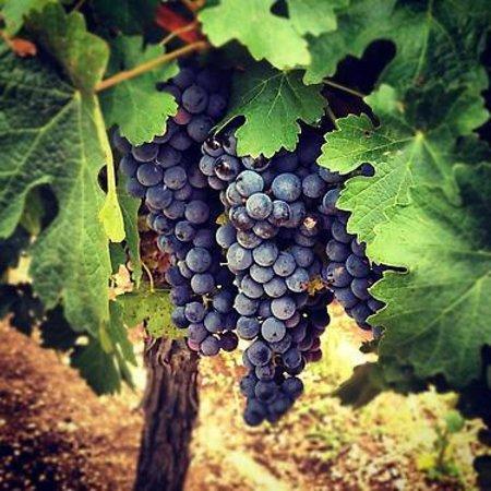 Agricultura fija en 4.950 hectáreas la superficie que se podrá autorizar para nuevas plantaciones de viñedo en 2018
