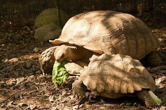Huntsville, AL: Tortoise