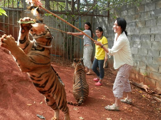 Sai Yok, Thái Lan: Playing with juvenile tigers