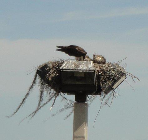Hyatt Place Lakeland Center: osprey feeding her young