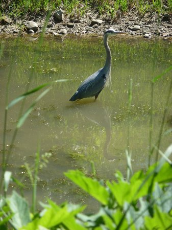 Cuyahoga Valley National Park: Lots of herons on the river