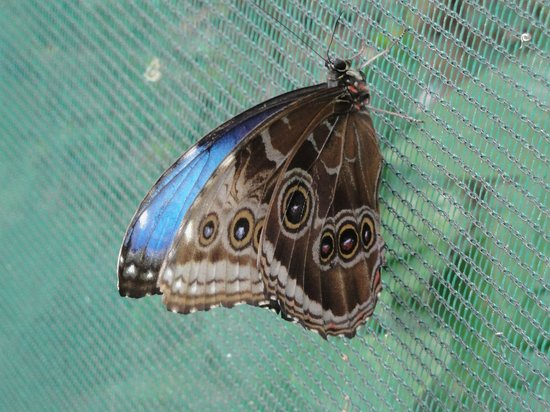 Doka Estate Coffee Tour: blue morpha butterfly w/wings closed