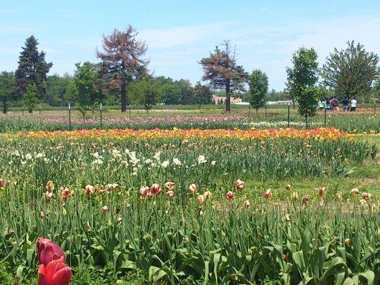 Veldheer Tulip Garden: Veldheer Tulip farm