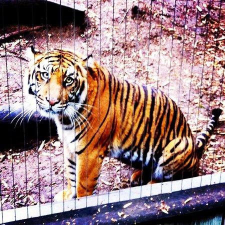 Cameron Park Zoo: Pretty Tiger :)