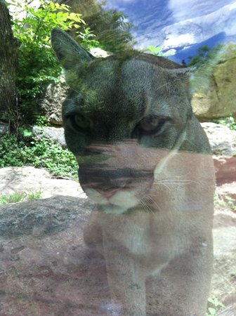 Cameron Park Zoo: Cougars will follow your wagons as you walk along!