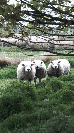 Kilmeny Country House: Grazing sheeps
