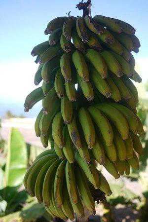 Pure Riders Surf camp: Bananes du jardin