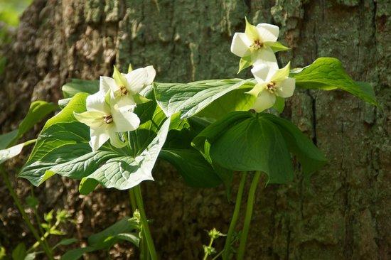 Pequea, PA: White Trillium blanket the hills