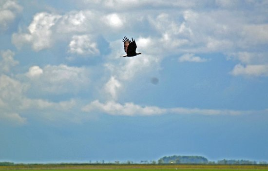 Central Florida Airboat Tours: Bald Eagle in Flight