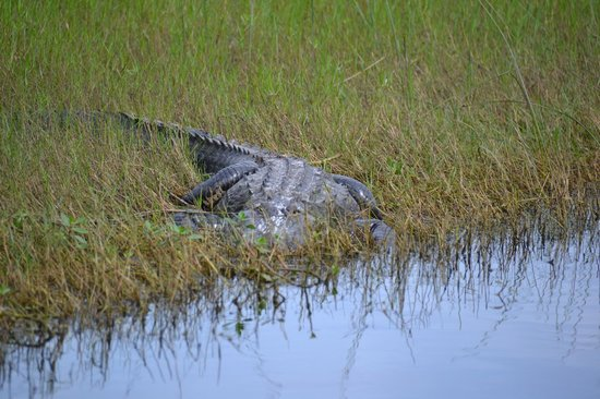 Central Florida Airboat Tours: GATOR