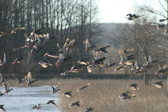 Mingo National Wildlife Refuge: Waterfowl taking Flight