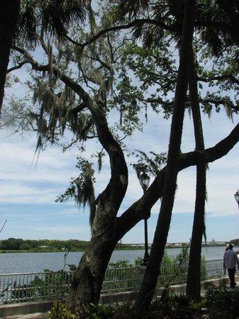 Wat Mongkolrata Temple: Cypress tree along the river
