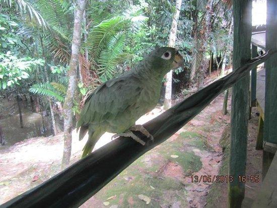 Amazon Explorama Lodges: Papagei auf dem Hotelgelände