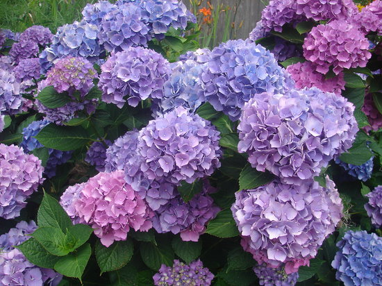 Clapp's Guest House: Hydrangeas, Cape Cod's Bloom
