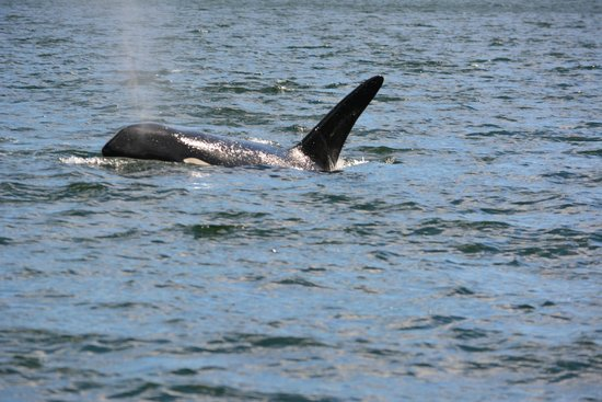 Aboriginal Journeys Wildlife and Adventure Tours: Baby Orca